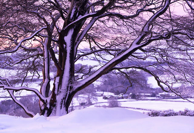 Beech Tree in the snow near home, Dorset