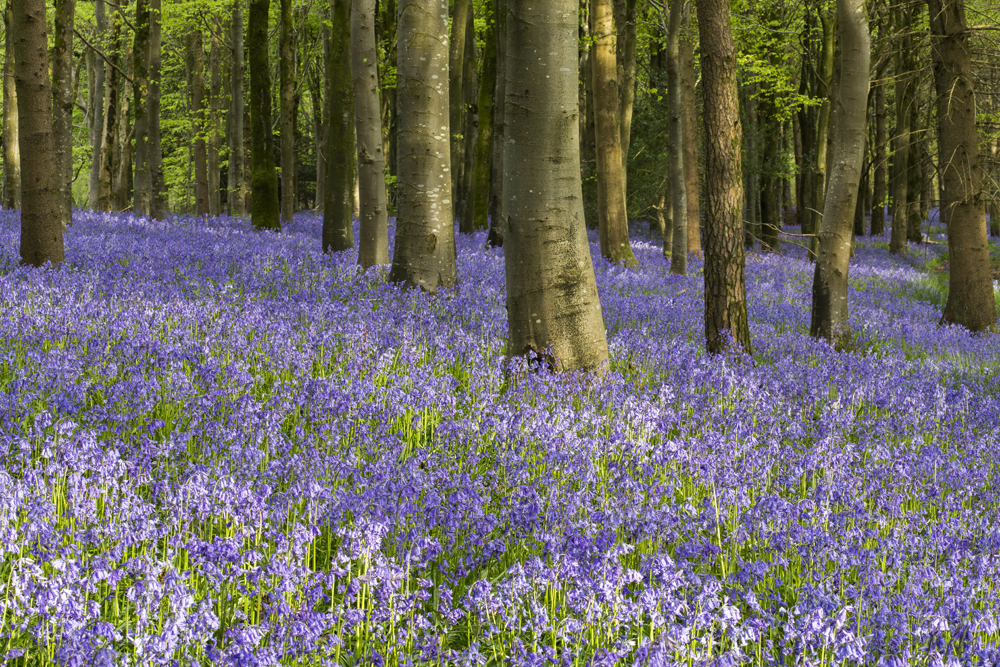 Bluebells near home, Dorset