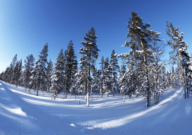 Forest in winter, north of The Arctic Circle, Finland