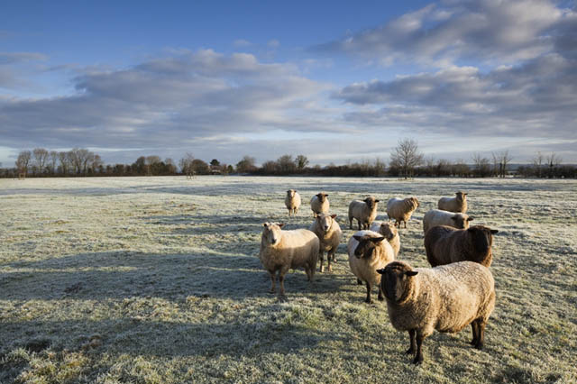 Friendly frosty sheep, Somerset