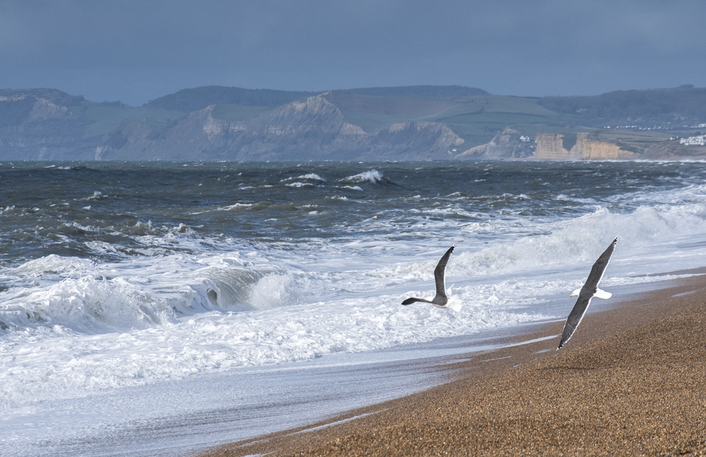Gulls at Chesil Beach, Dorset