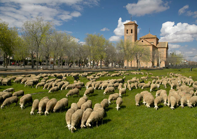Sheep grazing in a river bed, La Mancha, Spain