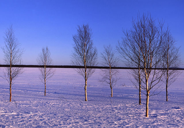 Frozen lake and birch trees, Arctic, Finland